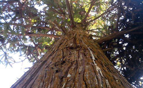Đặc điểm và tác dụng của gỗ Ngọc Am - Bontamgotamviet
