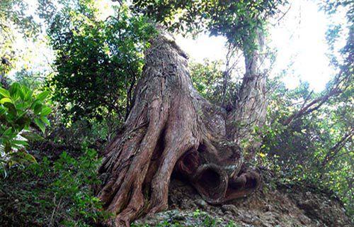 Cây bách xanh là gì - Đặc tính và ứng dụng của gỗ bách xanh trong đời sống