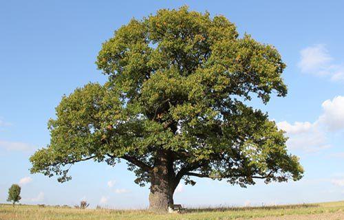 Cây sồi được mọc nhiều ở Mỹ nên còn được gọi là Sồi Mỹ