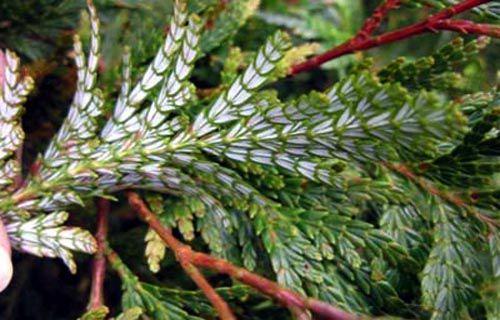 Lá của cây Pơ mu mọc thành các cặp chéo chữ thập đối các cặp so le